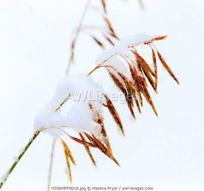 Grasses, First snow of October, Continental Divide, Rabbit Ears Pass, Colorado, USA