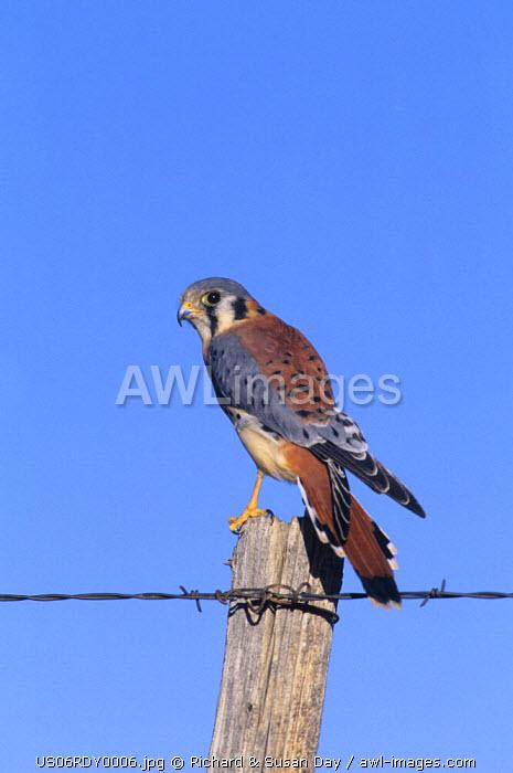 American kestrel (Falco Sparverius) male on fence post, Colorado