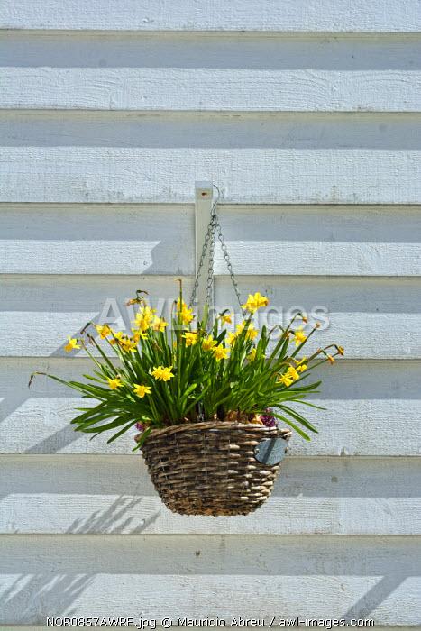 Flowers in a traditional fisherman's house of Sandviken, Bergen. Norway