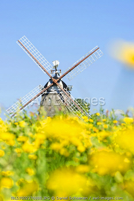 awl-images.com - Germany / Windmill and a flower meadow in Oldsum, Foehr island, North Frisia, Schleswig-Holstein, Germany