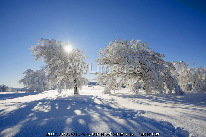 awl-images.com - Germany / Snow covered beeches (Fagus sp.), Schauinsland, Freiburg im Breisgau, Black Forest, Baden-Wurttemberg, Germany