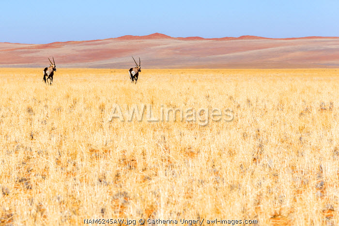 Africa, Namibia. Two Oryx near the red dunes of the namib desert.
