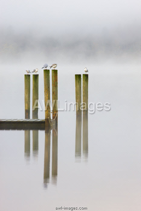 Gulls perch on wooden jetty posts on a misty morning at Derwent Water, Keswick, Lake District National Park, Cumbria, England, UK. Autumn (November) 2009