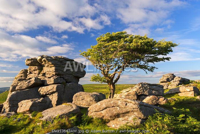 Windswept hawthorn tree growing among the granite rocks near Saddle Tor, Dartmoor National Park, Devon, England. Summer (July) 2016.