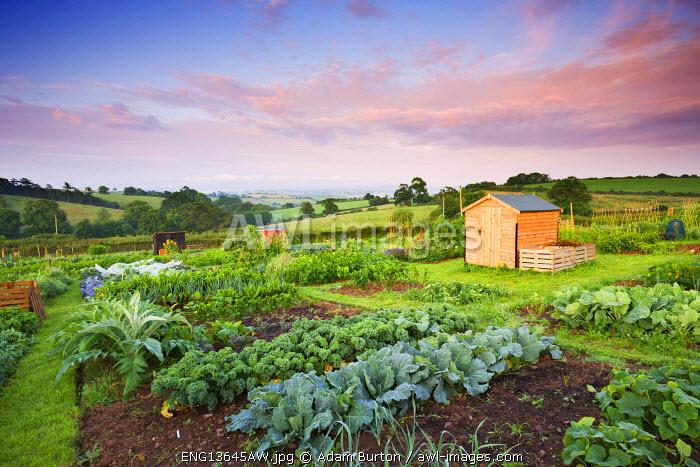 Vegetable growing on a rural Allotment, Morchard Bishop, Devon, England. Summer (July) 2009
