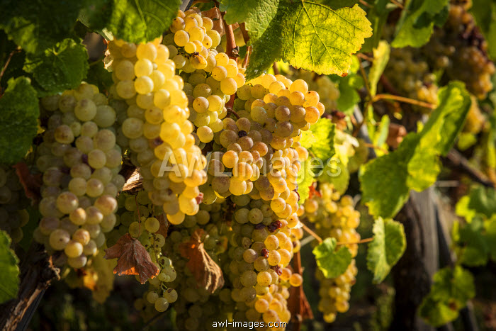 europe, Italy, Cinque Terre. Ripe grapes in Riomaggiore.