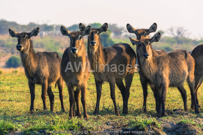 Botswana. Chobe National Park. Waterbuck (Kobus ellipsiprymnus) grazing near the Chobe river.