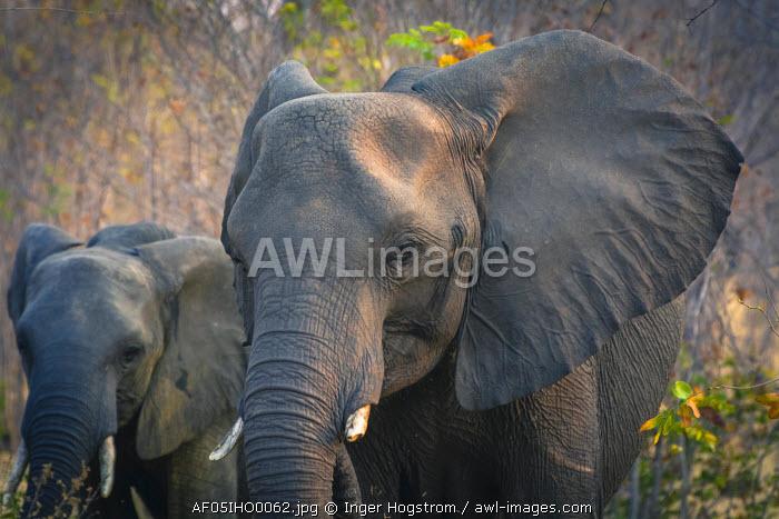 Botswana. Chobe National Park. Elephant (Loxodonta africana). Mother and calf.