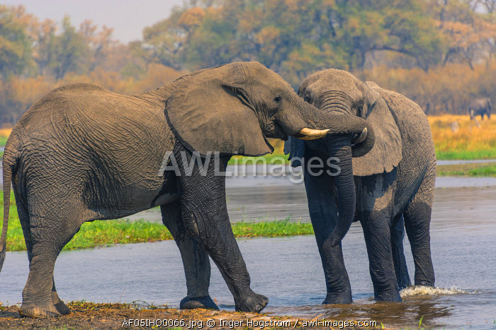 Botswana. Okavango Delta. Khwai concession. Two young male elephants (Loxodonta africana) playing in the water.