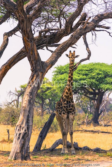 Botswana. Okavango Delta. Khwai concession. Angolan Giraffe (Giraffa camelopardalis angolensis)dark morph.