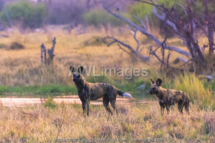Botswana. Okavango Delta. Khwai Concession. Pack of African wild dogs (Lycaon pictus) looking out for prey.