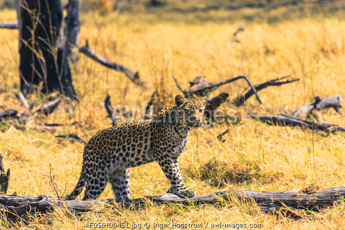 Botswana. Okavango Delta. Khwai Concession. Young female leopard (Panthera pardus) on the prowl.
