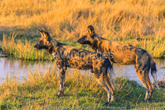 Botswana. Okavango Delta. Khwai concession. Pack of African wild dogs (Lycaon pictus) contemplate jumping across a stream.