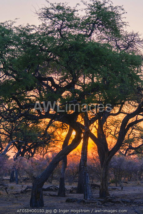 Botswana. Okavango Delta. Khwai concession. Acacia and blooming apple leaf trees at sunset.