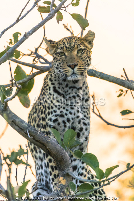 Botswana. Okavango Delta. Khwai concession. Leopard (Panthera pardus) up in a tree at sunset.