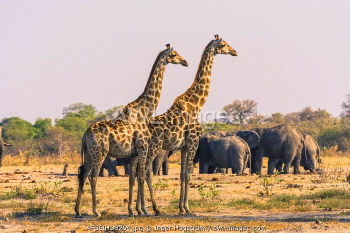 Botswana. Chobe National Park. Savuti. Giraffes intently watching a hidden lion in the bush.