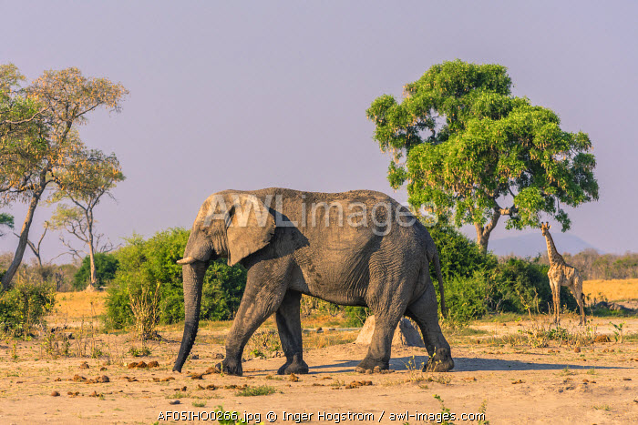 Botswana. Chobe National Park. Savuti. Harvey's Pan. Elephants (Loxodonta africana)