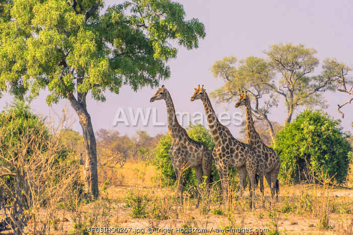 Botswana. Chobe National Park. Savuti. Giraffes intently watching a hidden lion in the bush.
