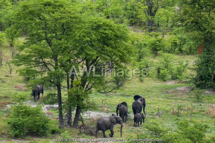 African elephants (Loxodonta africana), aerial view, Okavango Delta, Botswana.