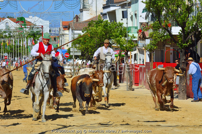 """Traditional running of wild bulls by the """"campinos"""", during the Barrete Verde (Green Cap) festivities. Alcochete, Portugal"""