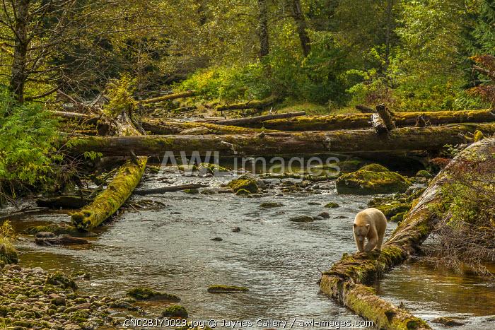 Canada, British Columbia, Inside Passage. White Spirit Bear hunts for fish on Riordan Creek.