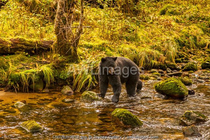 Canada, British Columbia, Inside Passage. Black bear fishing on Riordan Creek.