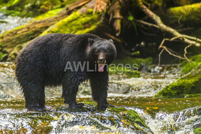 Canada, British Columbia, Inside Passage. Black bear fishing on Qua Creek.