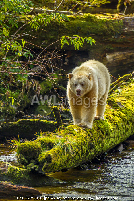 Canada, British Columbia, Inside Passage. White Spirit Bear hunts for fish on Riordan Creek.