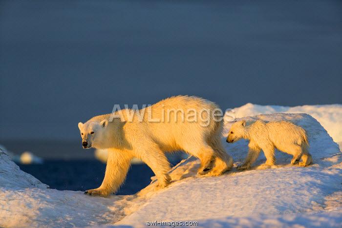 Canada, Nunavut Territory, Repulse Bay, Polar Bear Cub (Ursus maritimus) walking with mother across sea ice near Harbor Islands