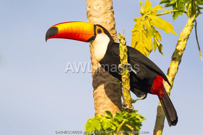 Brazil, Mato Grosso, The Pantanal, toco toucan, (Ramphastos toco), papaya tree, (Carica papaya). A toco toucan in a papaya tree.