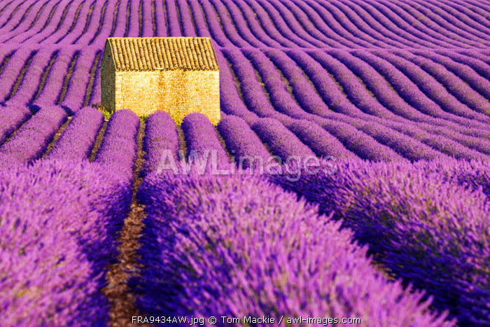 Stone Barn in Field of Lavender, Provence, France