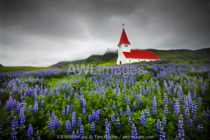 Church in Wild Lupins, Vik, Iceland