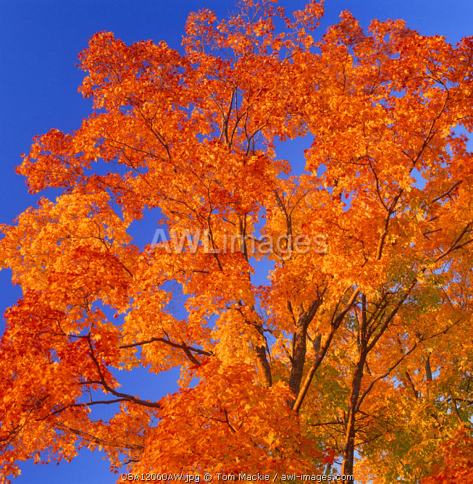 Autumn Tree, Vermont, USA