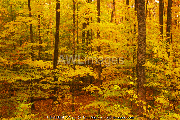 Woodland in Autumn, Crawford Notch, New Hampshire, USA