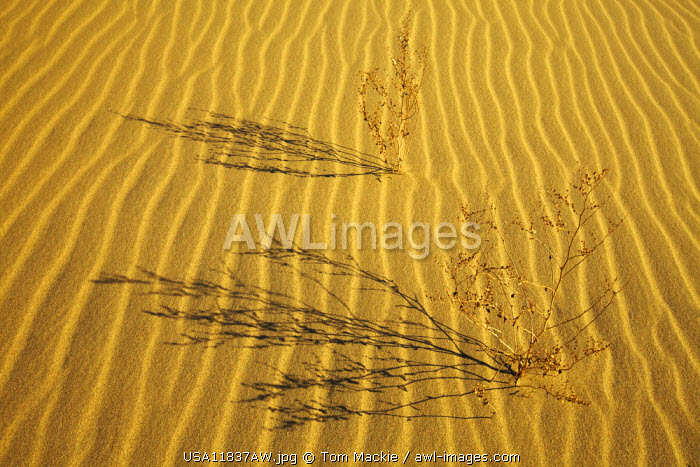 Plant Shadows, Eureka Dunes, Death Valley National Park, California, USA