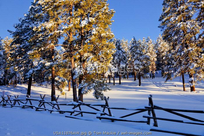 Fresh Snow-covered Pine Trees, Flagstaff, Arizona, USA