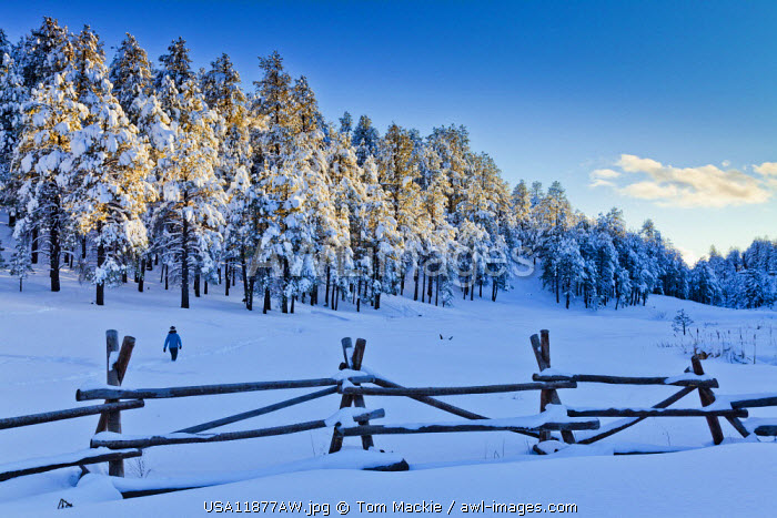 Fresh Snow-covered Pine Trees, Flagstaff, Arizona, USA
