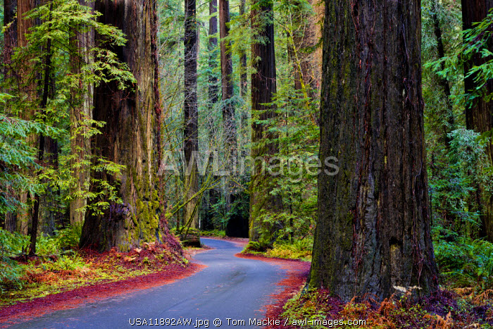 Road Through Giant Redwoods, Humboldt State Park, California, USA