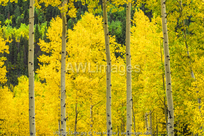 Aspens in Autumn, Telluride, Colorado, USA