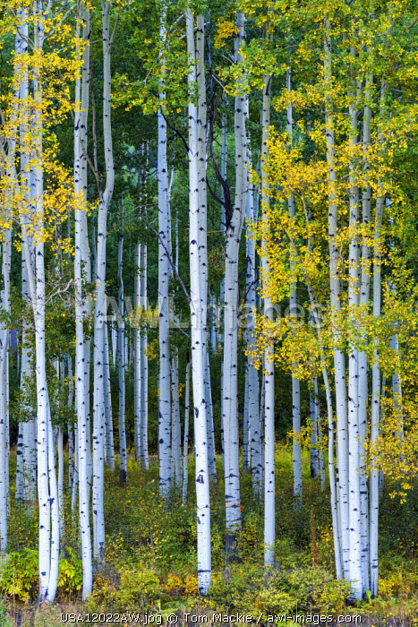 Aspens in Autumn, Silverton, Colorado, USA