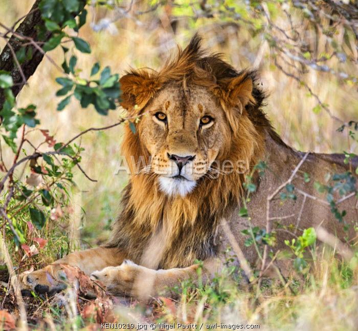 Kenya, Laikipia.  A lion.