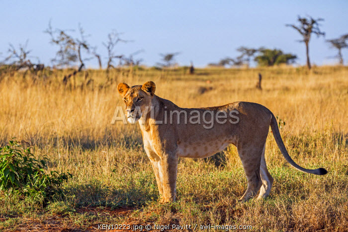 Kenya, Laikipia.  A lioness in prime condition.
