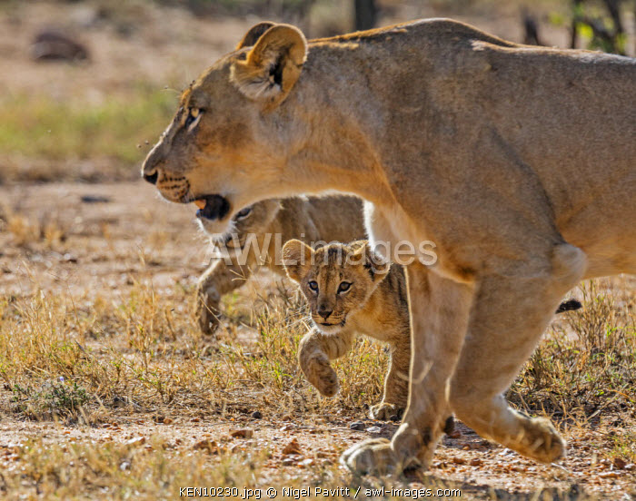 Kenya, Laikipia.  A lioness walks with her two small cubs.