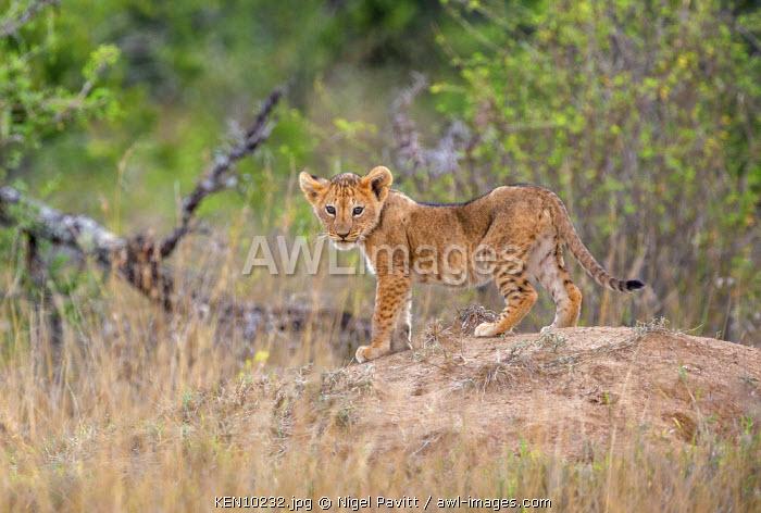 Kenya, Laikipia.  A small lion cub.