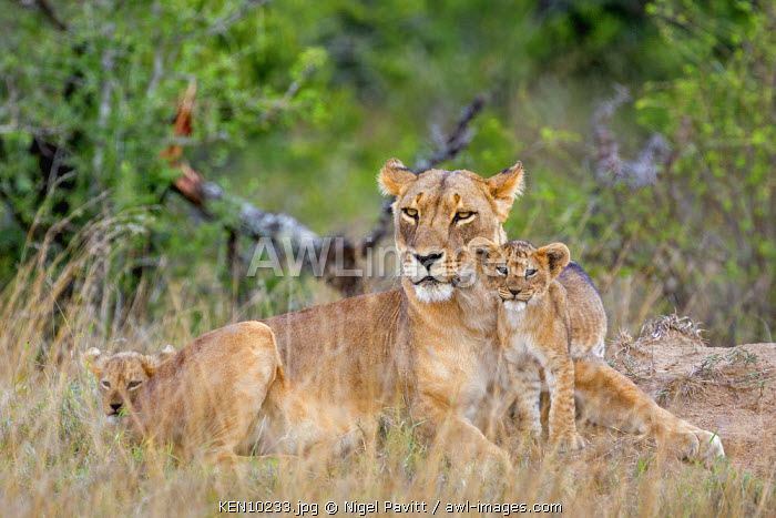 Kenya, Laikipia.  A lioness with her small cub.