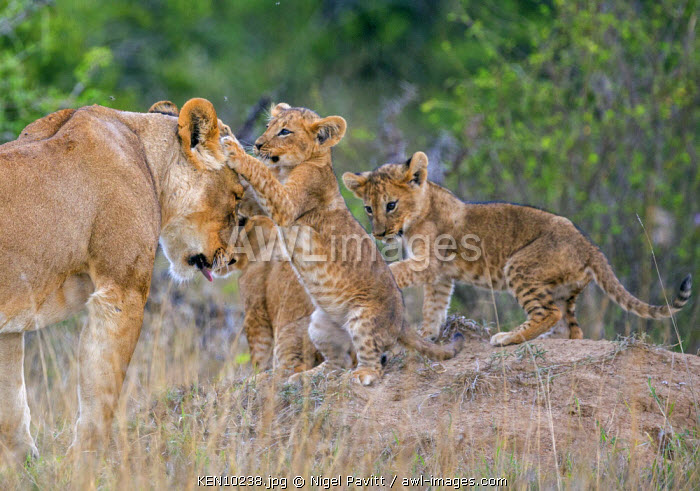 Kenya, Laikipia.  Lion cubs play with their mother.
