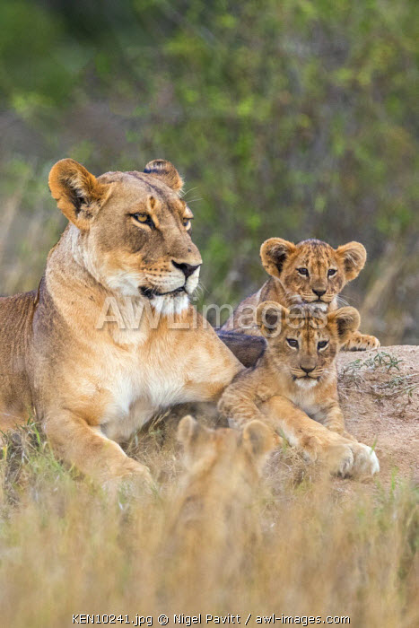 Kenya, Laikipia.  A lioness with her three small cubs.