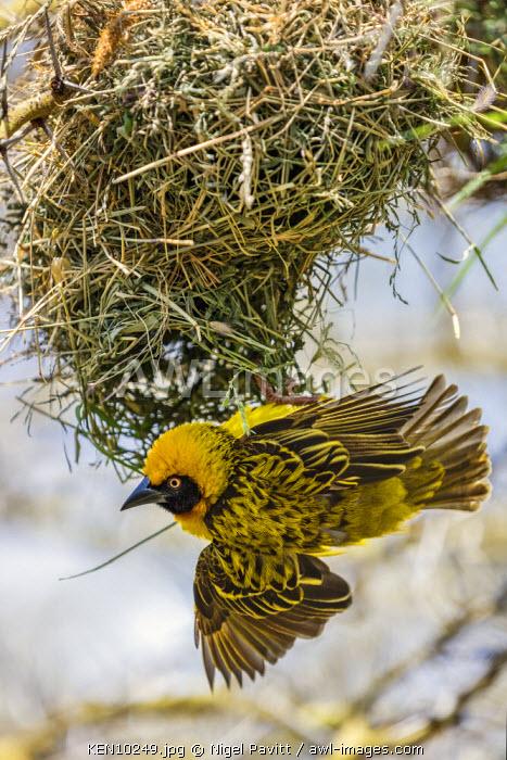 Kenya, Laikipia.  A Baglafecht Weaver at its nest.