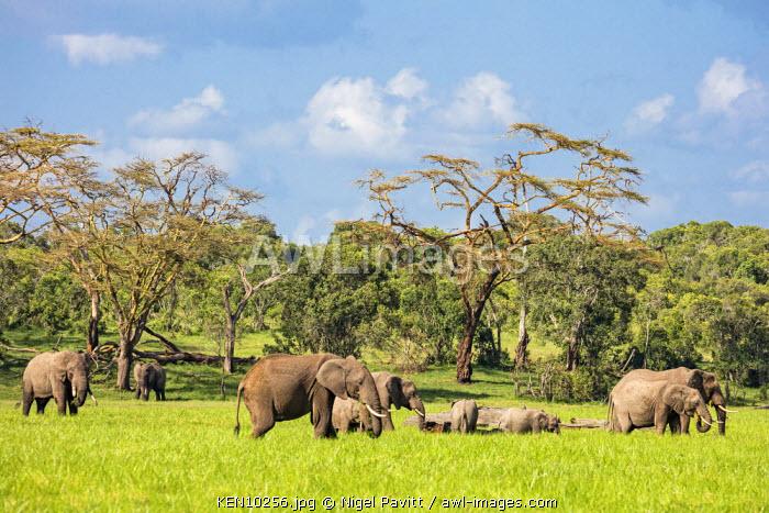 Kenya, Laikipia.  A herd of elephants in lush pasture after bountiful rain.