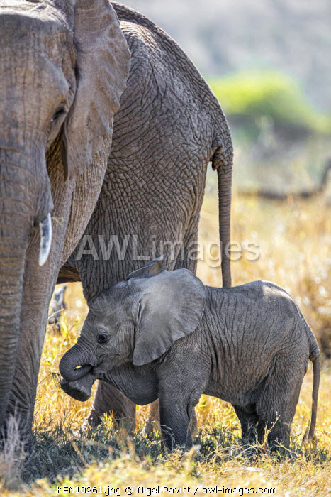 Kenya, Laikipia.  A baby elephant lifts a front leg beside its mother.